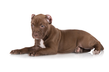 chocolate brown puppy lying down