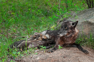 Black Wolf (Canis lupus) Feeds Pups Next to Den