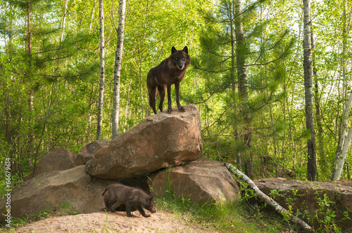In de dag Wolf Black Wolf (Canis lupus) Stands on Top of Den