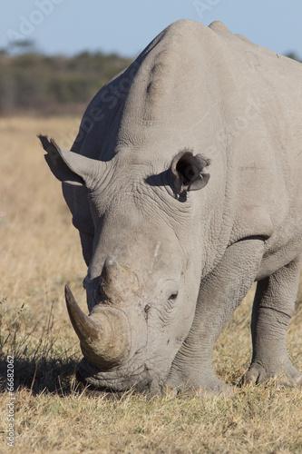 Foto op Canvas Neushoorn rhino portrait
