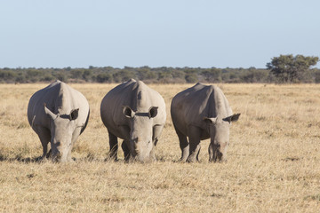 three rhinos