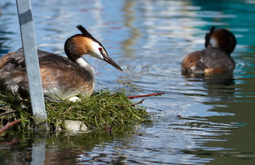Crested grebe (podiceps cristatus) duck on nest
