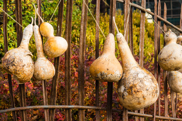 Dried gourds hanging from a fence