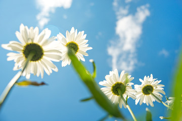 daisies on sky