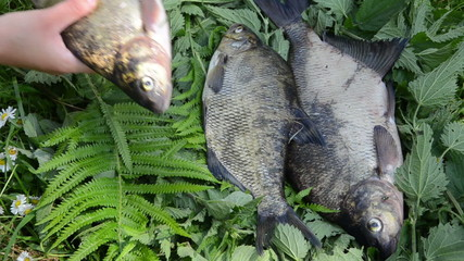 arm puts the fern leaves three big bream fish