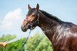 Bay horse enjoying the shower outdoor - 66693617