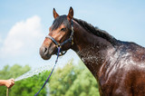 Bay horse enjoying the shower outdoor