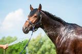 Bay horse enjoying the shower outdoor