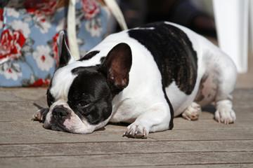 gelangweilte französische Bulldogge