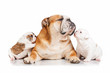 English bulldog mother with puppies