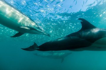Common dolphins swimming just beneath the surface