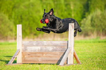 Black labrador jumping over the hurdle