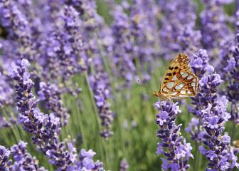 butterfly in lavender field