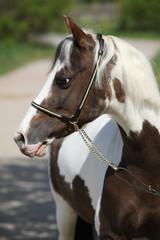 Portrait of beautiful skewbald pony