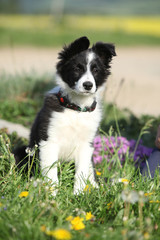 Nice puppy of border collie in flowers