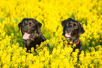 Two black labradors sitting in yellow flowers