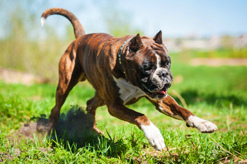 Boxer dog running