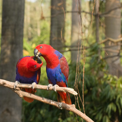 two lover parrots kiss on the tree