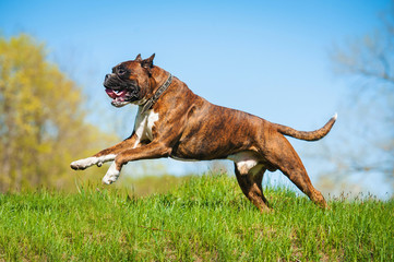 Happy boxer dog running