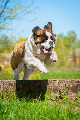 Saint bernard dog with funny face  jumping over the hurdle