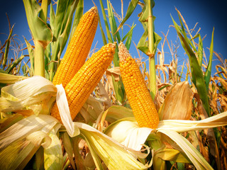 Corn field closeup