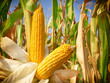 Corn field closeup