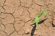 pianta di mais_ siccità