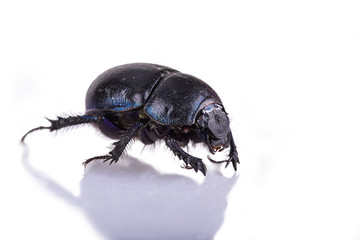 dung Beetle violet black on white background