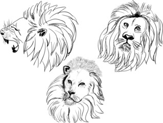 three lion heads isolated on white