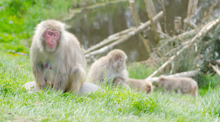 group of japanese macaque monkeys