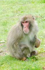 adult male japanese macaque monkey