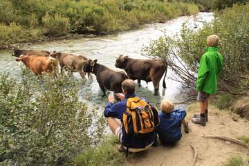Mucche al guado e turisti