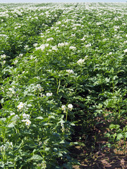Large field of flowerings plants of potato