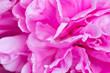 close up of beautiful peonies