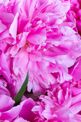 close up of beautiful peonies