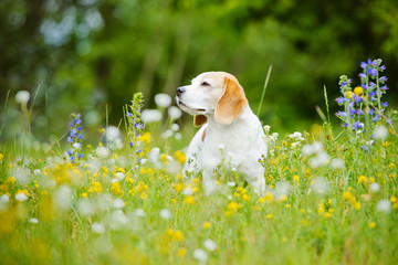 adorable beagle dog on the field
