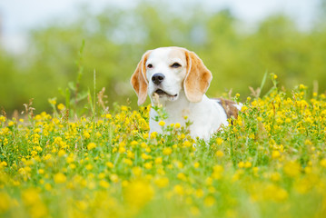 adorable beagle dog in summer flowers