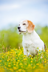 beautiful beagle dog portrait outdoors