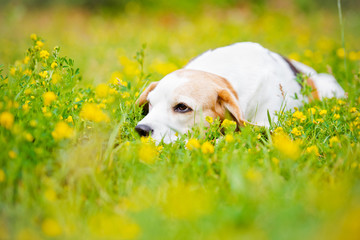 beagle dog resting on the field