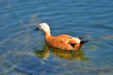 Красная утка (Огаарь) в водоеме