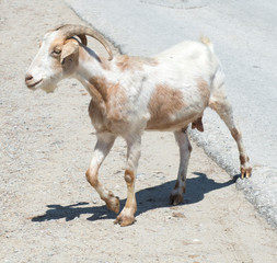 Lone Goat walking on a road