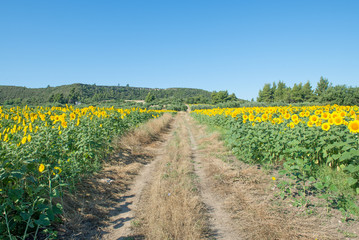 Dirt Track through Sunflowers
