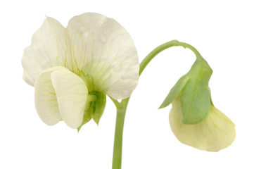 Pea Flower Close-Up on White Background