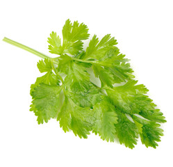 Green Celery Leaves Isolated on White Background