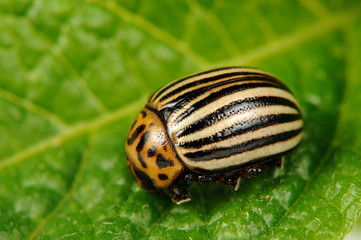 Colorado Potato Beetle on Potato Leaf