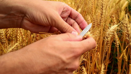 Male farmer hands in wheat field. 1920x1080, full hd footage.