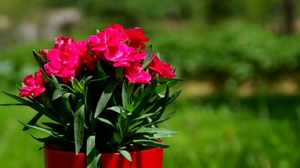 Red flowers in a red pot on green background