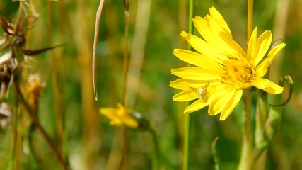 Tragopogon pratensis, yellow flower in meadow