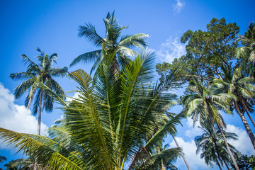 Coconut palm trees against blue sky. Thailand