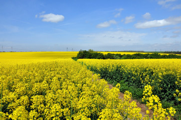 Blooming canola fields in yellow